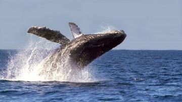 Inicia temporada de avistamiento de la ballena gris en México