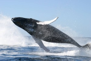 salto-de-ballena