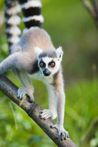 lemur-de-cola-anillada-sobre-una-rama-en-el-parque-nacional-de-ankarana_galeria_principal_size2