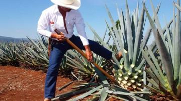 IPN crea empaques inteligentes con bagazo de agave pulquero