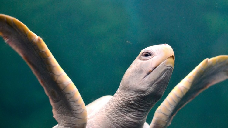 Nace una rara tortuga albina