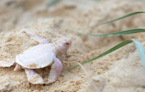 Nace-una-rara-tortuga-albina-en-playa-australiana